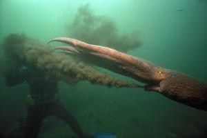 Giant Pacific Octopus Squirting Ink At Diver, British Columbia Canada by Jeff Rotman