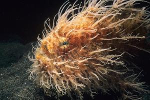 Hairy Frogfish (Antennarius Hispidus) Lembeh Strait, Celebes Sea, Sulawesi, Indonesia by Jeff Rotman