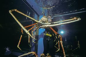 Japanese Giant Spider Crab (Macrocheira Kaempferi) World'S Largest Crustacean In Tokyo Aquarium by Jeff Rotman