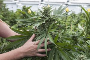Person Holding Large Cannabis Bud, in Organic Marijuana Farm, Pueblo, Colorado, USA, June 2015 by Jeff Rotman