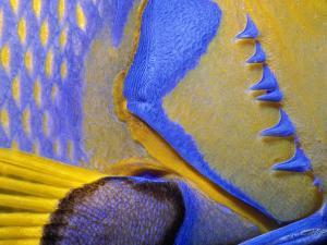 Queen Angelfish Close-Up of Gills and Pectoral Fin, Bahamas, Caribbean by Jeff Rotman