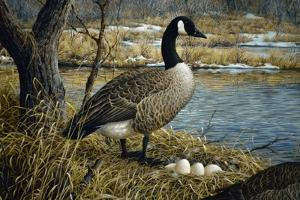 Canadian Goose by Jeff Tift