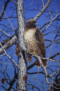 Red Tailed Hawk by Jeff Tift
