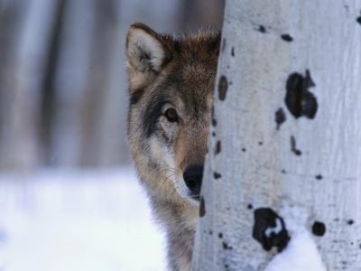 Gray Wolf Behind Aspen