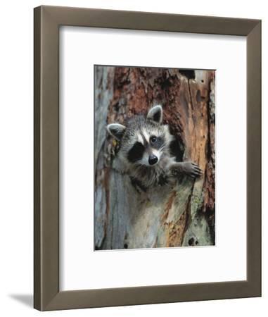 Raccoon Inside Hollow Log