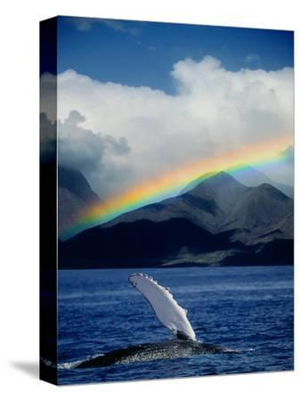 Rainbow over Breaching Humpback Whale