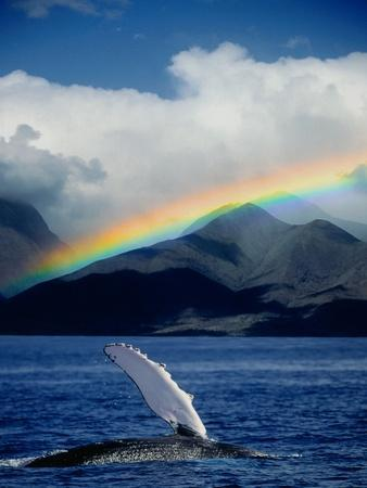 Rainbow over Breaching Humpback Whale