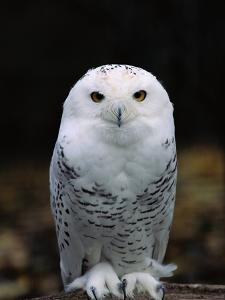 Snowy Owl by Jeff Vanuga