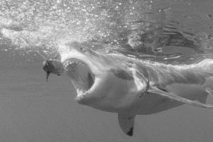 Portrait of a Great White Shark, Carcharodon Carcharias, Chasing a Bait with its Mouth Open by Jeff Wildermuth