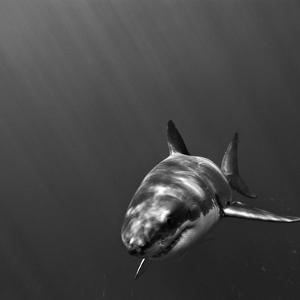 Portrait of a Great White Shark, Carcharodon Carcharias, Swimming by Jeff Wildermuth