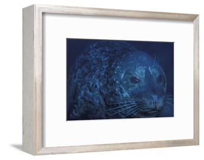 Portrait of a Harbor Seal