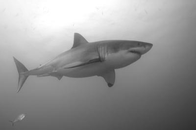 Portrait of a Male Great White Shark, Carcharodon Carcharias, Swimming by Jeff Wildermuth