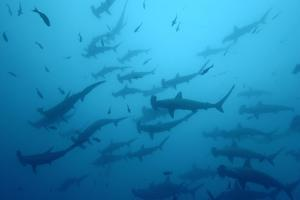 Silhouetted Scalloped Hammerhead Sharks Swimming Among Smaller Fish by Jeff Wildermuth