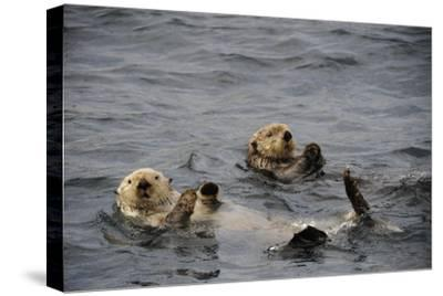 Two Sea Otters, Enhydra Lutris, Floating on their Backs