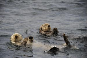 Two Sea Otters, Enhydra Lutris, Floating on their Backs by Jeff Wildermuth