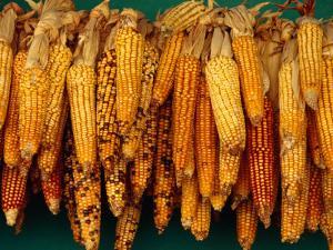 Drying Seed Corn,Francisco Morazan, Honduras by Jeffrey Becom