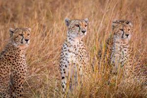 Cheetah Alpine Glow by Jeffrey C. Sink