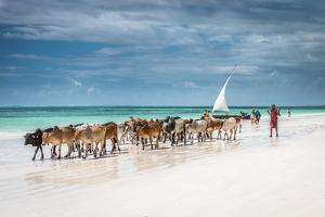 Masai Cattle on Zanzibar Beach by Jeffrey C. Sink