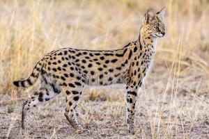 Serval Hunting by Jeffrey C. Sink