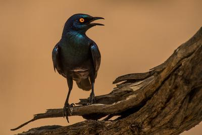 A Cape Starling rests on the branch of an acacia tree near the desert.