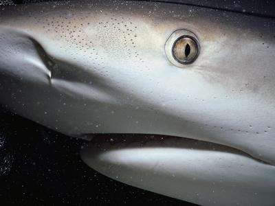 Mouth of Caribbean Reef Shark