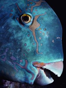 Steepheaded Parrotfish in Great Barrier Reef by Jeffrey L. Rotman