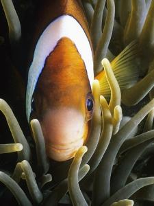 Barrier Reef Anemonefish in Lembeh Strait by Jeffrey Rotman