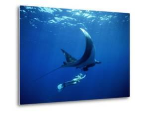 Diver Swims with Giant Manta Ray, Mexico by Jeffrey Rotman