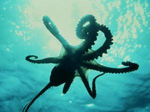 Octopus Parachuting Down on Top of its Prey by Jeffrey Rotman