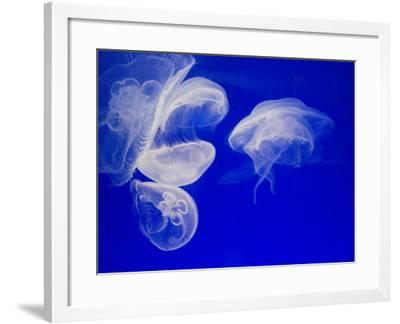 Jellyfish, Aquarium, Oceanographic Institute, Monaco-Veille, Monaco-Ethel Davies-Framed Photographic Print