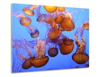Jellyfish at the Monterey Bay Aquarium-Douglas Steakley-Metal Print