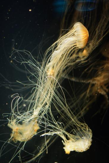 Jellyfish in the Ocean-alexandros33-Photographic Print