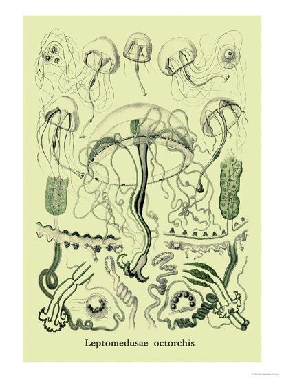 Jellyfish: Leptomedusae Octorchis-Ernst Haeckel-Art Print