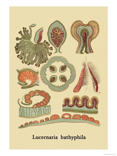 Jellyfish: Lucernaria Bathyphila-Ernst Haeckel-Art Print