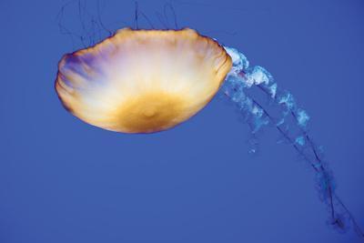 Jellyfish V-Erin Berzel-Photographic Print
