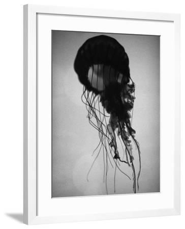 Jellyfish-Henry Horenstein-Framed Photographic Print