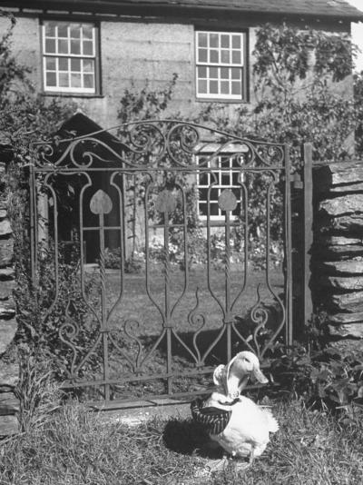 Jemima Puddle-Duck Posing in Front of Iron Gate Outside Beatrix Potter's Home-George Rodger-Photographic Print