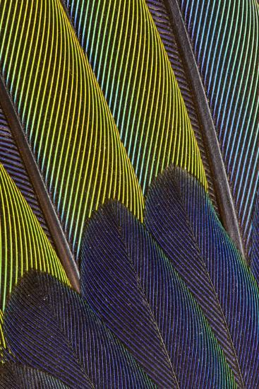 Jenday Conure Wing Feather Detail-Darrell Gulin-Photographic Print