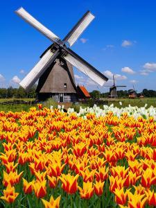 Dutch Windmills and Tulips by Jeni Foto