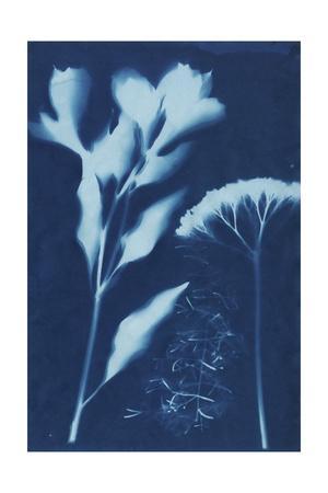 Cyanotype No.15