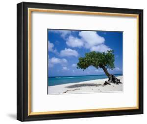 Divi-Divi Tree, Aruba by Jennifer Broadus