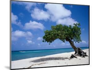 Divi-Divi Tree, Aruba by Jennifer Broadus