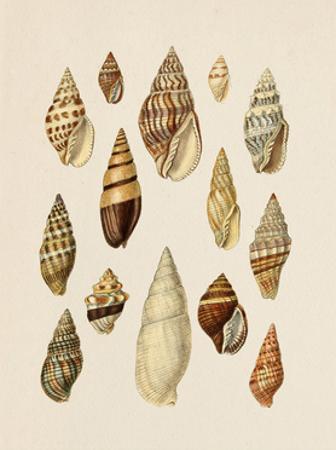 Cone Shell Display II