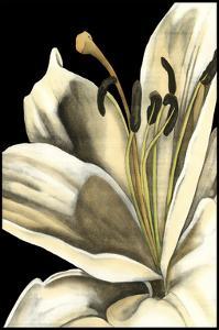 Graphic Lily III by Jennifer Goldberger