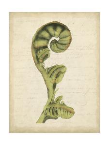 Small Fiddlehead Ferns I by Jennifer Goldberger
