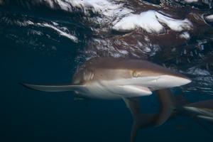 A Silky Shark Patrols the Rich Coral Reefs of Gardens of the Queen by Jennifer Hayes