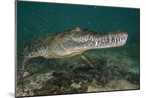 A Submerged American Crocodile Lives in the Dense Mangroves by Jennifer Hayes