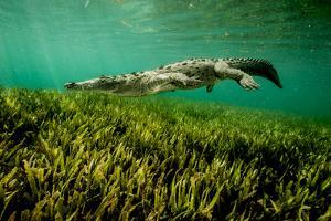 An American Crocodile Swims in Cuba's Gardens of the Queen National Marine Park by Jennifer Hayes