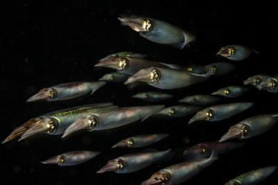 Caribbean Reef Squid Hunt for a Meal in Cuba's Gardens of the Queen Marine National Park by Jennifer Hayes