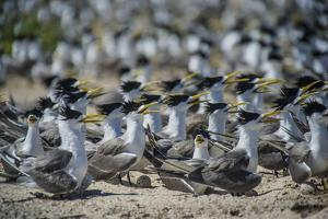 Greater crested terns nest on Bird Islet at Tubbataha Reef's North Atoll. by Jennifer Hayes